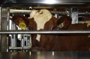 Mar 21/12 - Our very first cow in the Robotic Milking Station.