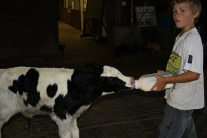 Feeding a 3 day old calf.