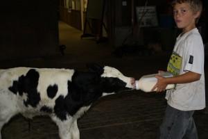 Feeding a 3 day old calf.