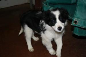 'Cheeky' as a 10 week old pup posing!